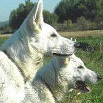 Weisse schweizer Schäferhunde