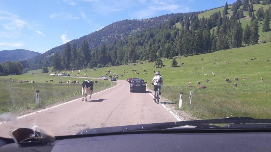Rinder auf der Straße