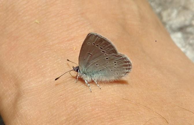 grauer Schmetterling am Vilsalpsee