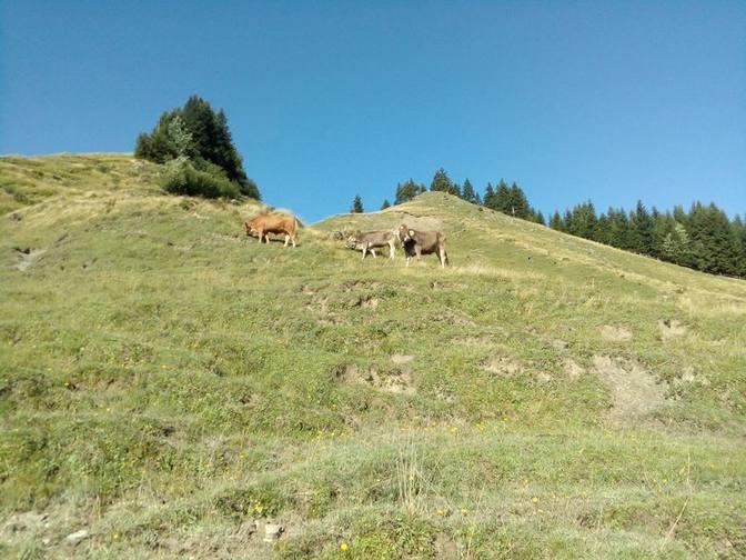 Rinder auf der Alpspitzalm