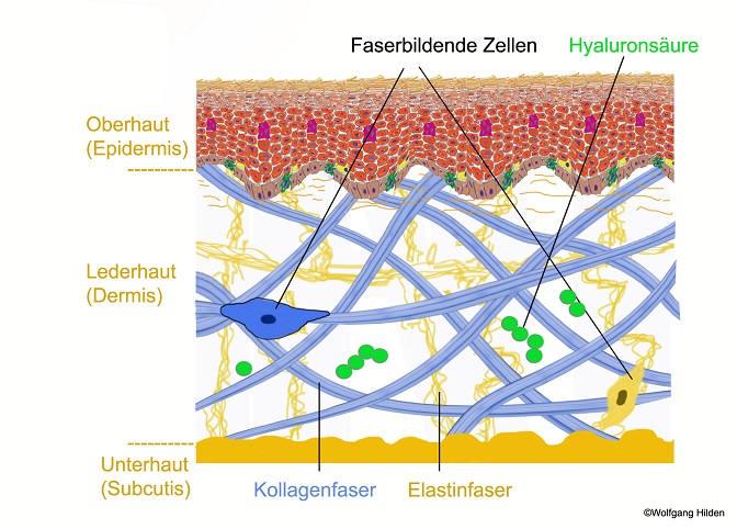 Das Fasersystem der Haut