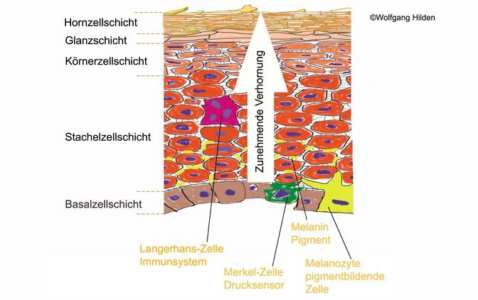 Die verschiedenen Hautzellschichten