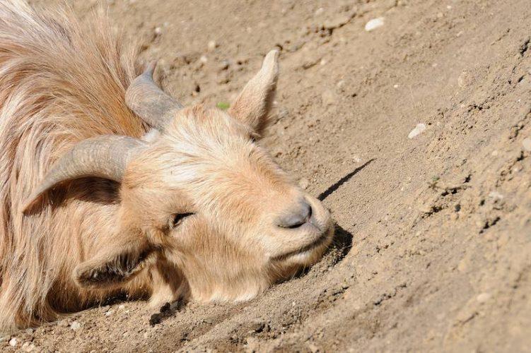 Ziege nimmt ein Sandbad
