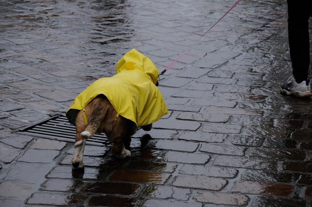 Dackel mit Regendecke